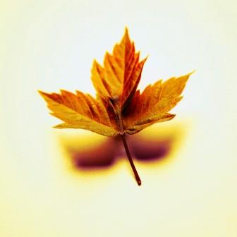 06 Jun 2003 --- Maple Leaf --- Image by © Royalty-Free/Corbis