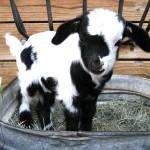 Yianna-Lamb